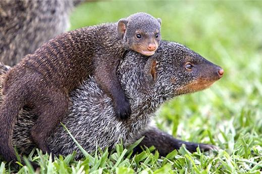 малыш мангуст и мама