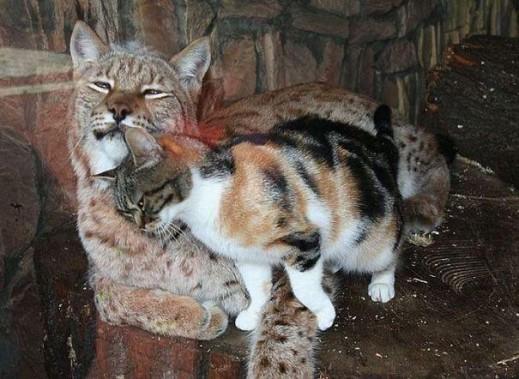 Рысь и кошка