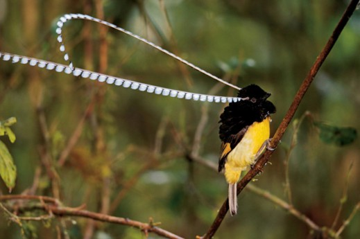 Чешуйчатая райская птица (Pteridophora alberti