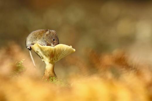 Мышки-норушки